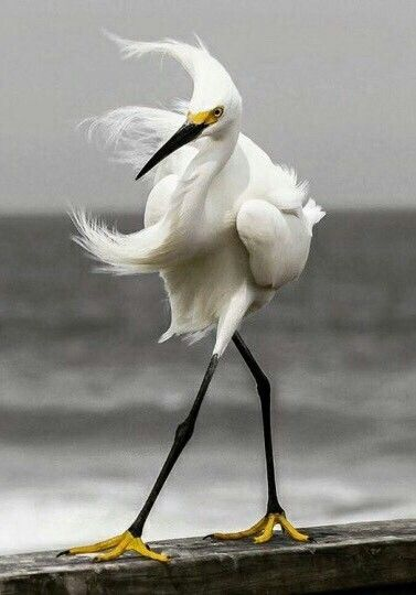 Japanese Crane, they do a very beautiful courtship dance that is so very Japanese in taste and the classic art of the Island.