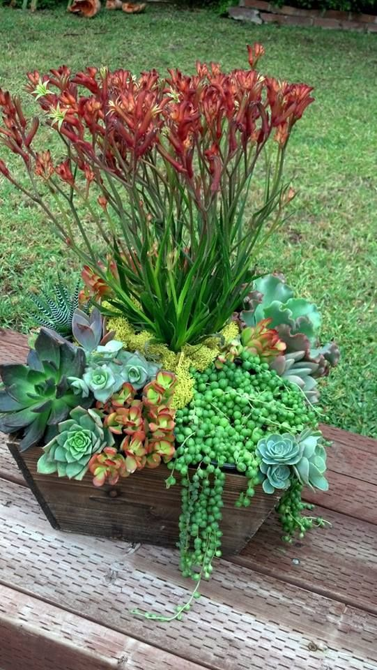 Kangaroo Paw and succulents make a gorgeous low water arrangement by Ana Calderon
