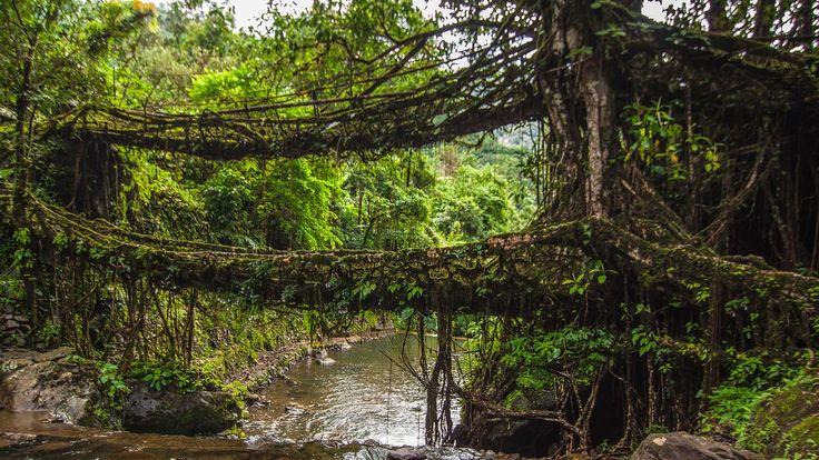 #India's amazing, living root bridges: http://bbc.in/1J6YfsV   Meghalaya, living root bridges, India, wettest place on earth (Credit: Neelima Vallangi)
