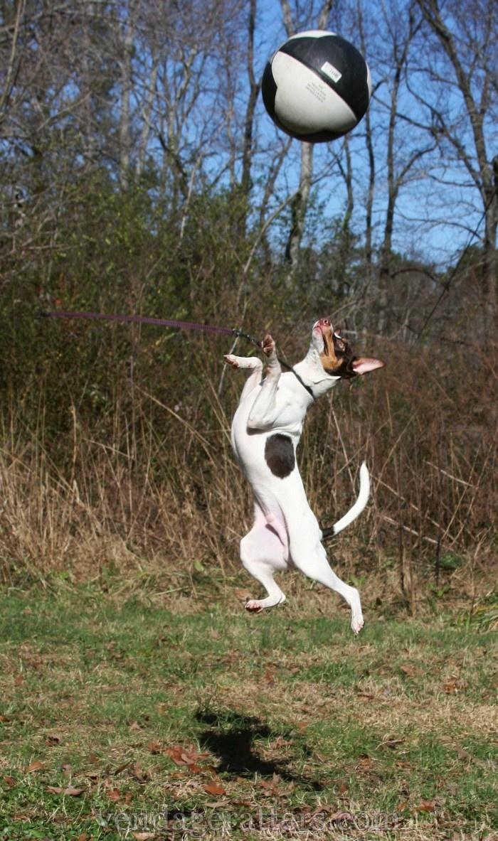 Pilot, 6 month old Rat Terrier  http://facebook.com/vendageratterriers  http://vendageratters.com/