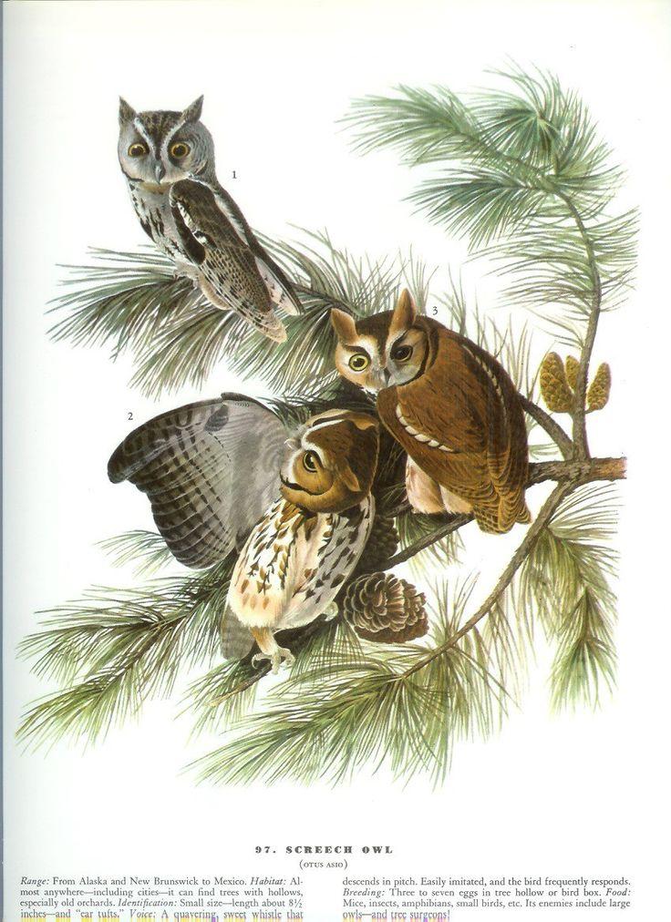 John James Audubon Bird Print - Screech Owl - Vintage Natural Science Home Decor Art Illustration Great for Framing. $10.00, via Etsy.