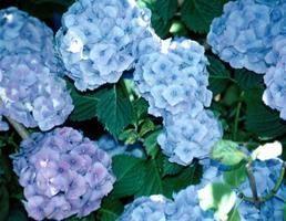 cmo hacer las hortensias azules o rosas