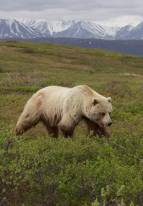 "Grizzly Bear (Ursus arctos ssp.), Denali Borough, Alaska by Gregory ""Slobirdr"" Smith"