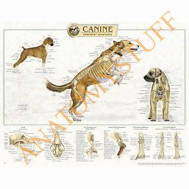 Mejores 23 imágenes de Canine Anatomy Resources en Pinterest