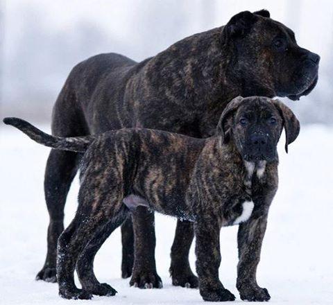 Pari & Zeus #reygladiador #presacanario #dog #puppy