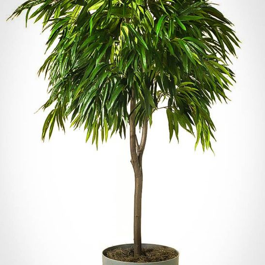 Long Leaf Ficus Tree | The Tree Center™