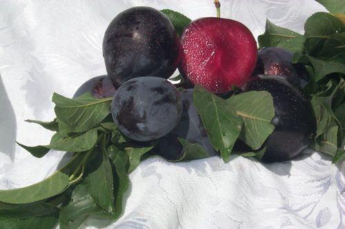 1000 Images About Prunus On Pinterest Plum Tree Beach
