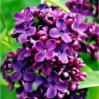 Entre los arbustos que florecen a finales de la primavera y principios del verano, se incluyen berberis o agracejos, lilas (Syringa) y osmanthus LB