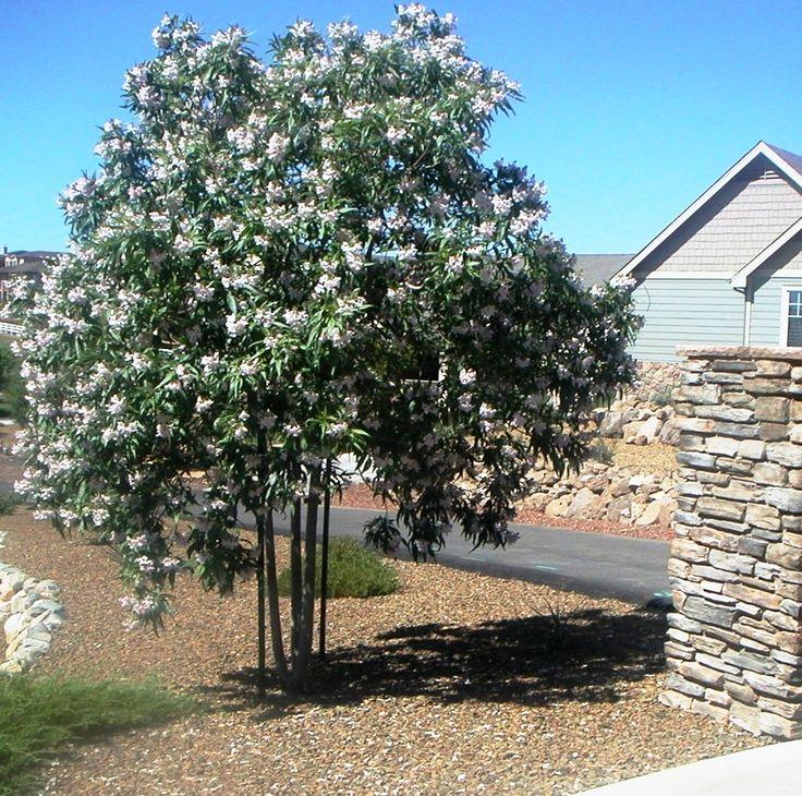 Pink Dawn Chitalpa Trees Pinterest Trees Summer And