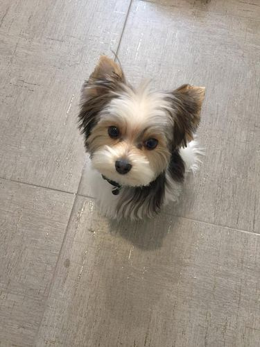 We have a parti toy Yorkie stud for hire. He is 11 months old, 3 pounds and has a unique coloring. He is akc registered and papered. His personality is friendly, good mannered and loves people. He is our family pet and has been amazing with our kids. If you have any questions about him please text or call. You wont find a cuter pup!
