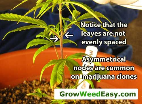 how to cut weed clones