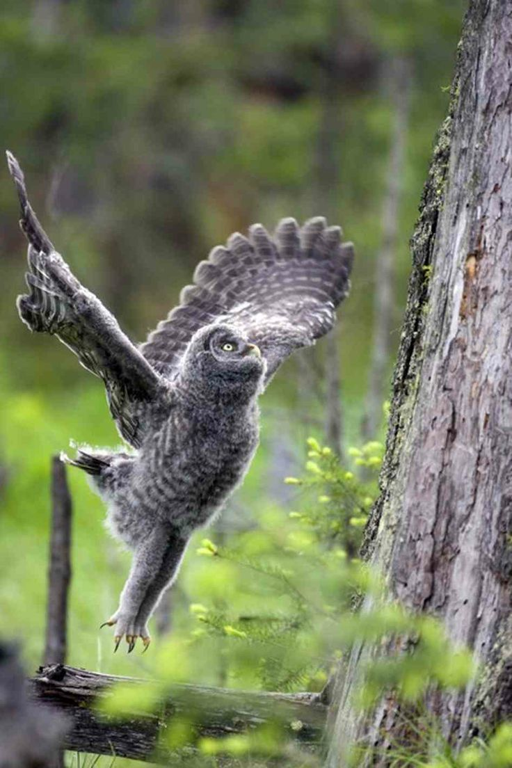 A great grey owl jumps lifts off.