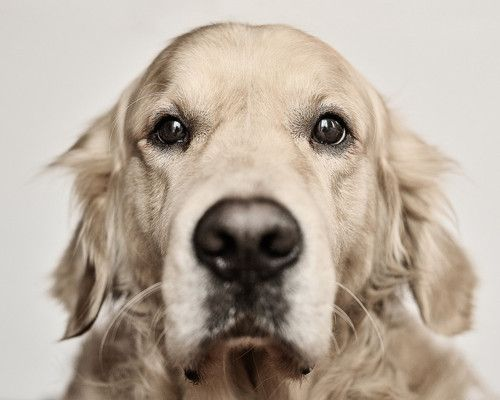 Golden love: Puppies Faces, Best Friends, Old Dogs, Mugs Shots, Old Faces, Brown Eye Girls, Handsome Boys, Baby Dogs, Golden Retriever