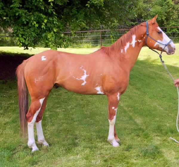 Roping Horses for sale, Cow Horses for sale, Barrel & Speed Event Horses for sale