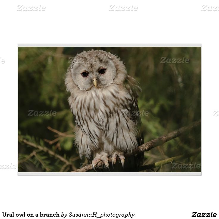 Ural owl on a branch poster