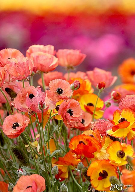 A field of poppies.  Love, love the colours!