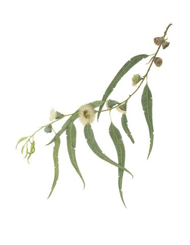 eucalyptus botanical print - Google Search
