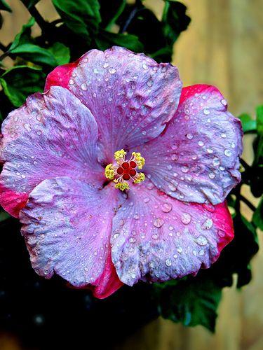 1296 best fleurs images on pinterest gardening for Order tie dye roses online