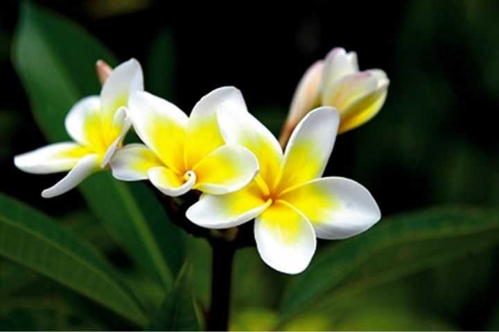 #Leelawadee Often displayed outside of temples and used traditionally in botanic spa treatments, this luscious white and yellow flower is associated with relaxation and healing.
