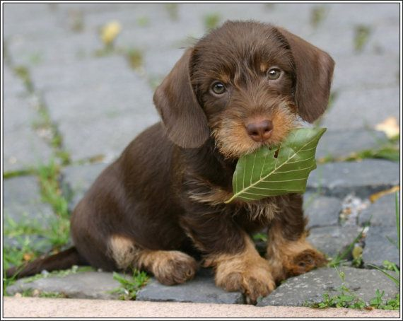 4 Dog Puppy Dachshund Doxie Weiner Dog puppies Leaf Greeting Stationery Notecards/ Envelopes Set