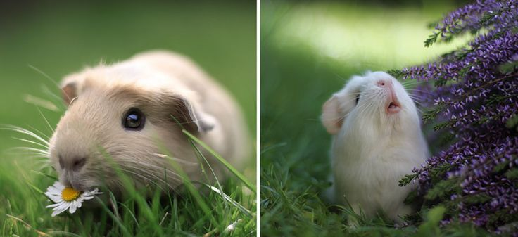 The Most Adorable Guinea Pigs On The Internet