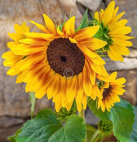 Sunflower Photography by Macsnapshot on Etsy