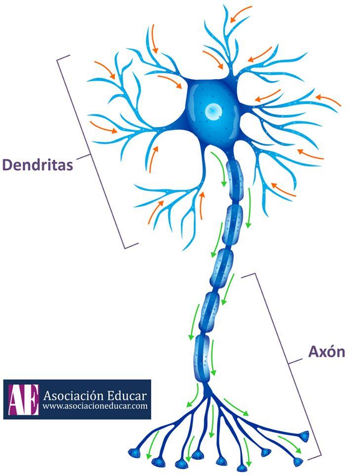 Neurona multipolar  Las neuronas asumen morfologías que pueden ser de tres tipos distintos: multipolares, bipolares o unipolares. En el caso de las multipolares, poseen un elevado número de dendritas que sirven como canales de comunicación. Estas clases de células nerviosas tienen la capacidad de enviar cantidades enormes de información y son altamente eficientes para permitir el procesamiento de múltiples contextos y situaciones, lo que evolutivamente es indispensable para que nos podamos…