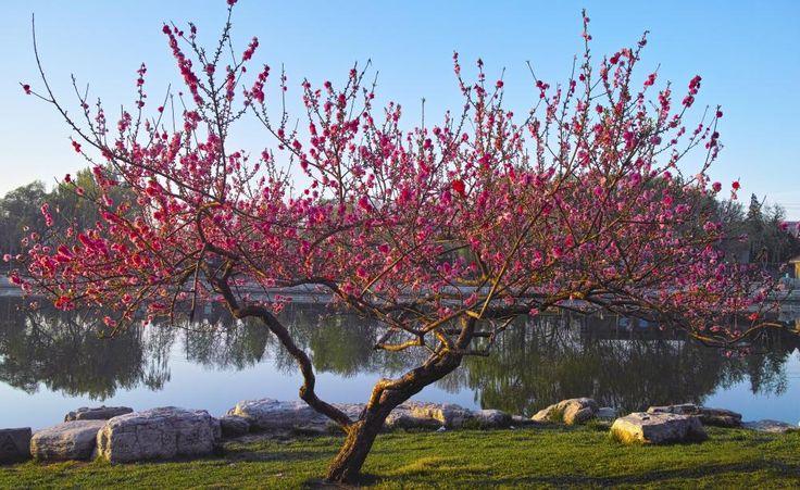 Pfirsichbaum richtig schneiden - Der Pfirsichbaum gehört zu den beliebtesten, aber auch anspruchsvollsten Obstgehölzen. Damit er gleichmäßig hohe Erträge liefert, müssen Sie ihn jedes Frühjahr zurückschneiden.