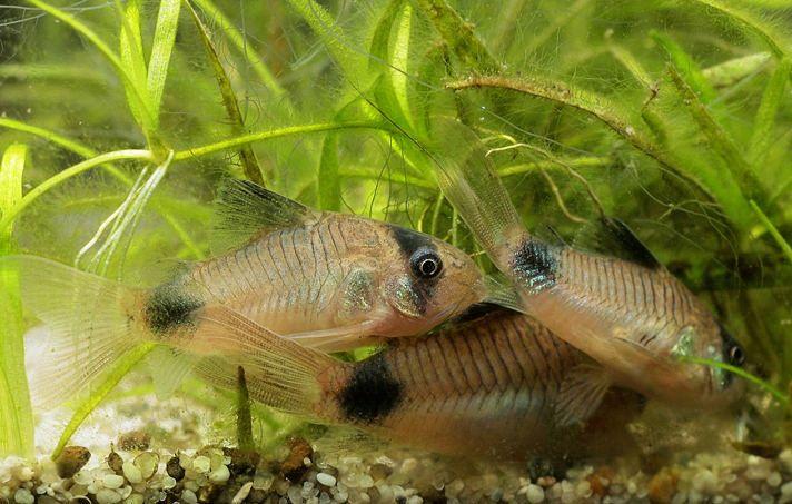 5 Great Bottom Dwelling Freshwater Aquarium Fish:https://www.petcha.com/5-great-bottom-dwelling-freshwater-aquarium-fish/