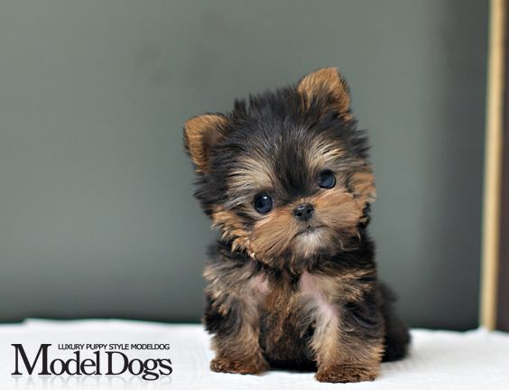 Toy Yorkie Yorkshire Terrier puppy! Look at the cute little baby! I so want it!!!