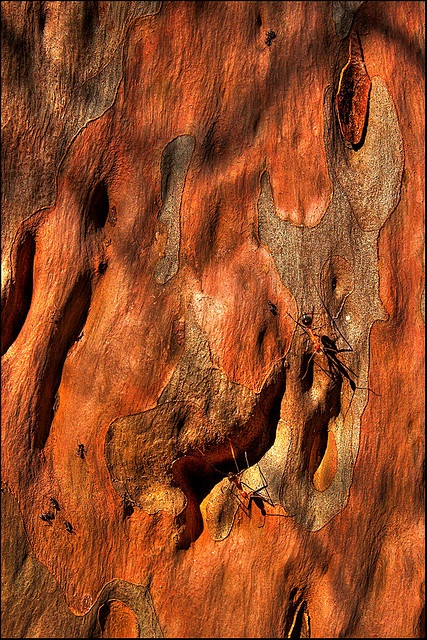 Soldier ants, Gum tree, Cania NP, Queensland