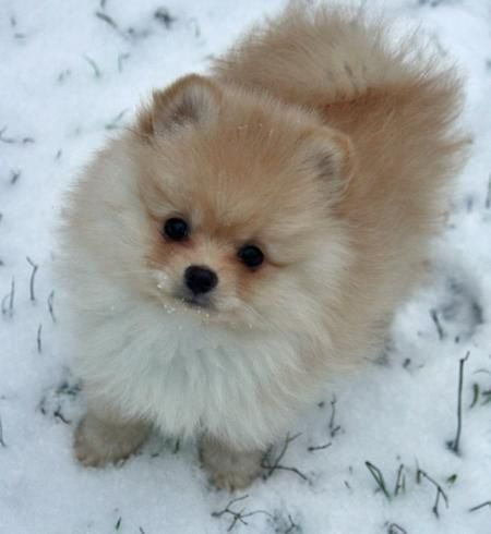pomeranian faces 1000 ideas about toy pomeranian on pinterest pomeranian 617