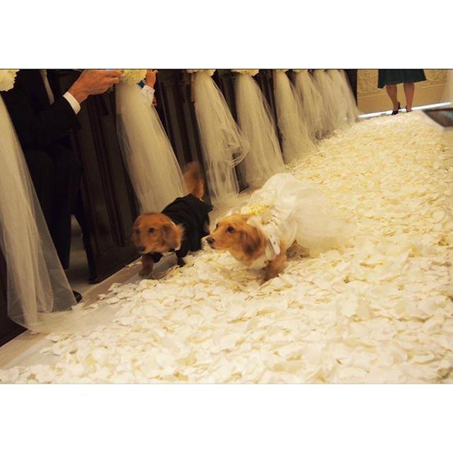 . #リングドッグ #💍 . #成功?#失敗? #ある意味成功 #よく頑張りました #衣装は手作り #花びらを敷き詰めたバージンロード #2回目の挑戦 #ちゃんとできただけすごい #愛犬 #ミニチュアダックスフント #ダックス #dog #🐶 #アーセンティア迎賓館 #0716 #わんこなしでは生きていけません会  #ふわもこ部 #wedding #happywedding