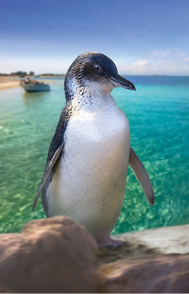 Penguin Island, Rockingham, West Australia