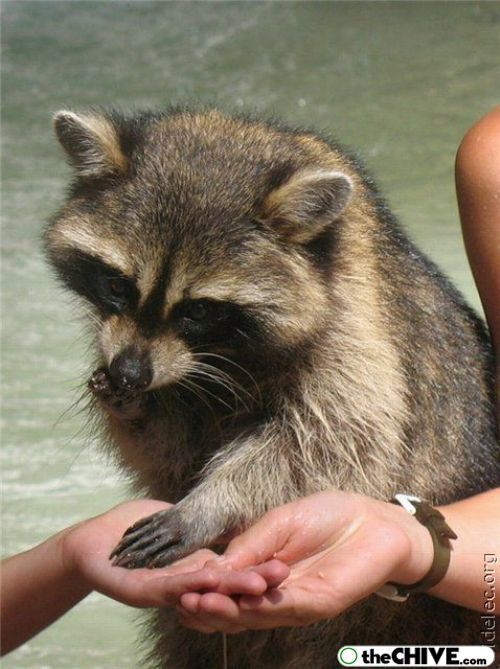 US President Calvin Coolidge's had a pet raccoon, Rebecca, who was originally sent to be served at the White House Thanksgiving Dinner.