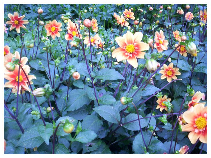 Dahlia x hortensis La Gioconda. Flora, Colonia (Koeln), Germany I'm not completely sure about the variety...