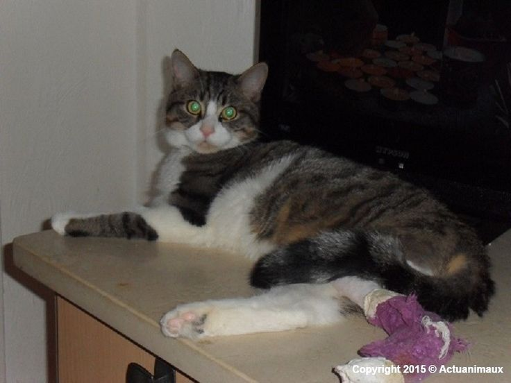 ASPA VALENCE - Hercule, chat errant soigné pour une ancienne fracture déplacée