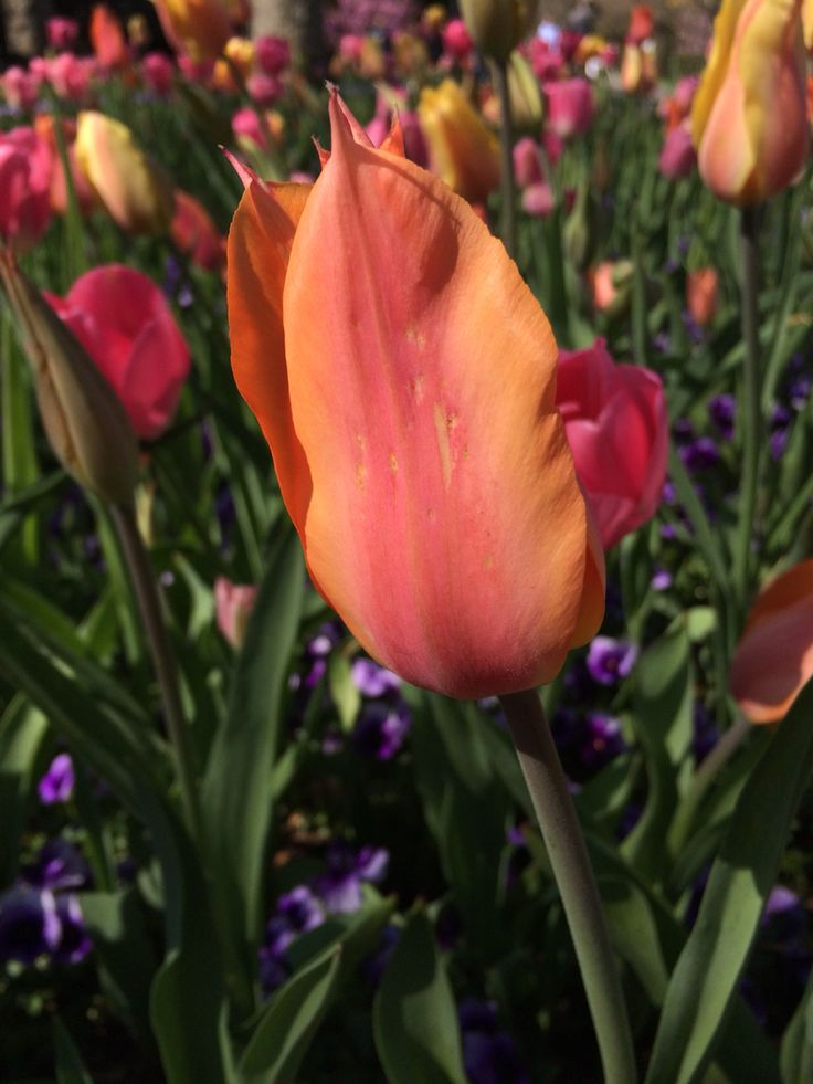 Pretty color tulip!!
