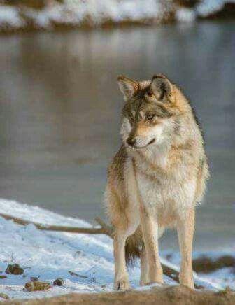 20 best arctic wolf dog hybrid images on pinterest doggies wolves and fox. Black Bedroom Furniture Sets. Home Design Ideas