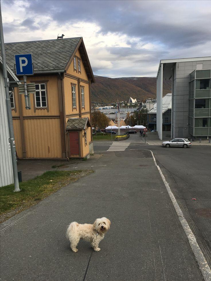 "Bichon havanais ""Facklans Nikko"". Tromsø, september 2017."