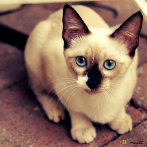 Cat Wallpapers For Iphone: Siamese Cat Cute Animal Wallpaper For Iphone