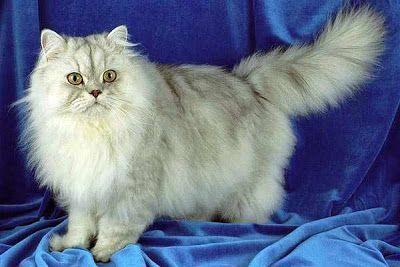 Персидская  кошка. Первые длинношерстные кошки были завезены в Европу итальянским путешественником Пьетро Делла Валле в начале ХVI века из провинции Харассан, что располагалась в Персии. Внешний вид этих кошек был совсем другой, нежели у современных персидских кошек и скорее напоминал сегодняшних ангорок или ванов.