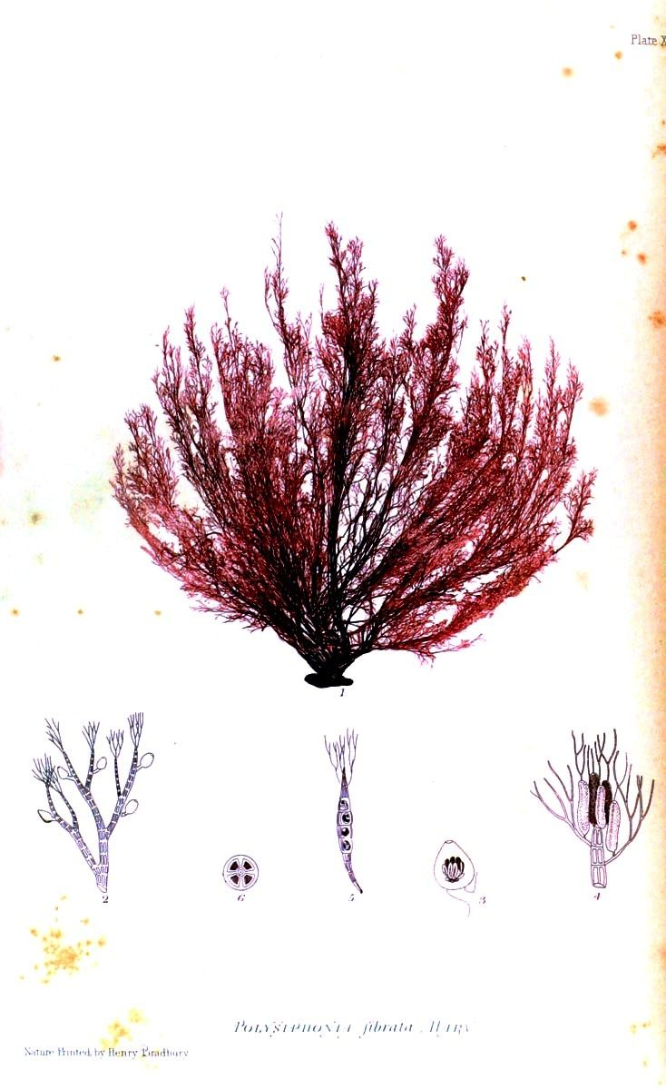 Botanical-British-Sea-Weed-1859-5.jpg (734×1200)