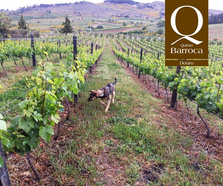 """O Varosa anda a """"inspecionar"""" o crescimento das uvas. :)  #QuintadaBarroca #Varosa #Wineyards #DouroValley #Wine #AgroTurimso #TurismoRural #Vinhas #Uvas #Videiras"""