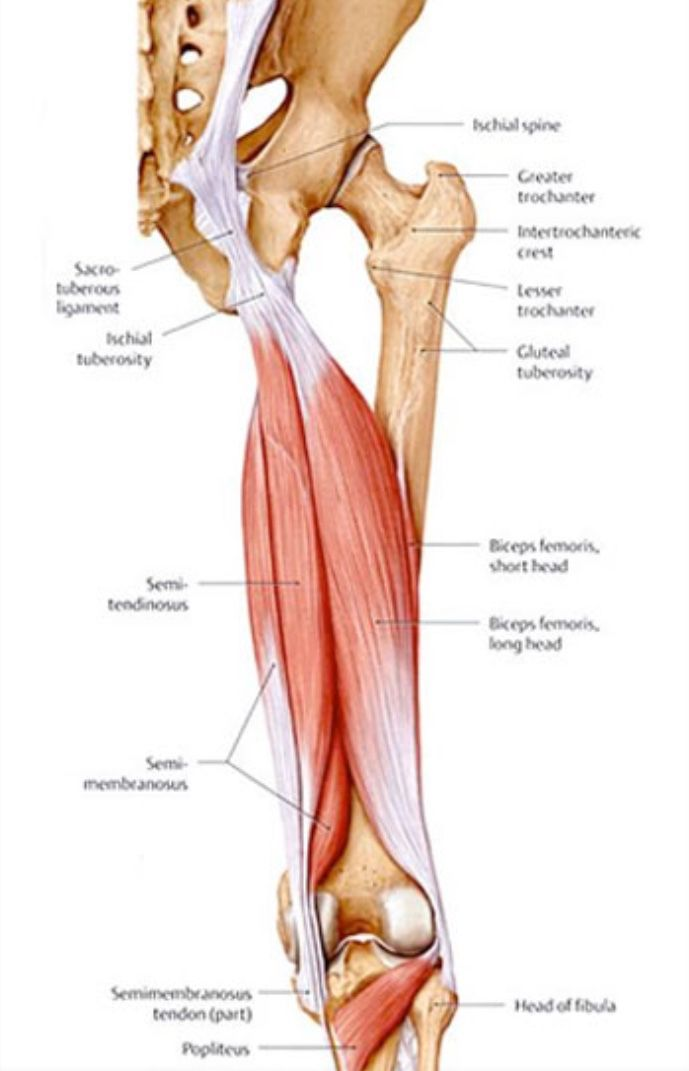 posterior muscles of the thigh including the hamstring group, Muscles