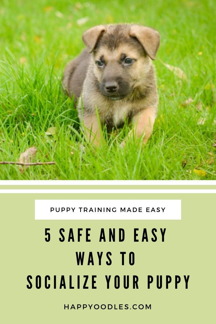 5 Safe And Easy Ways To Socialize Your Puppy Happy Oodles In 2020 Puppy Socialization Puppies Puppy Training