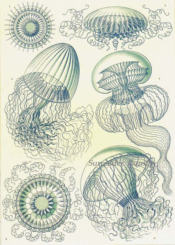 Leptomedusae Jellyfish Formations Haeckel Print In Pale Blue Vintage Natural History Oceanography Victorian Scientific Lithograph To Frame
