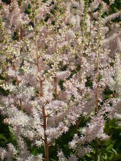 Le Jardin sous le Tilleul: Astilbe arendsii Bumalda
