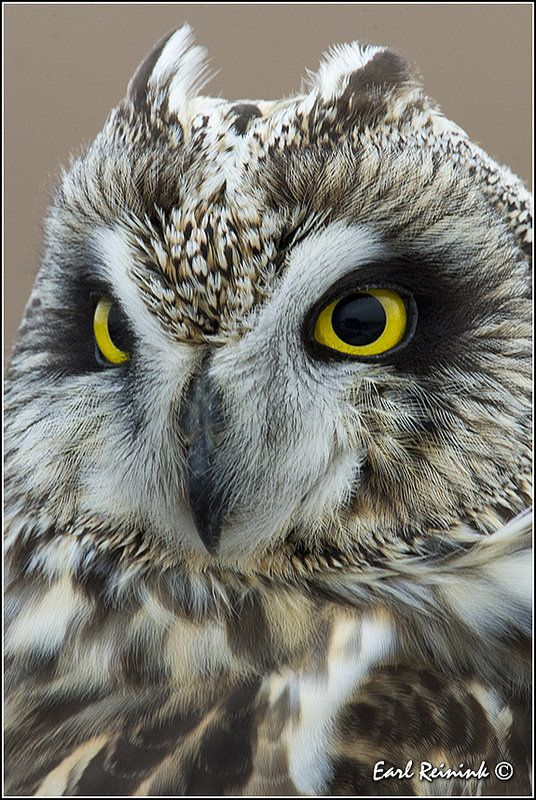 Winter is coming - Short-eared Owl | Flickr - Photo Sharing! c...