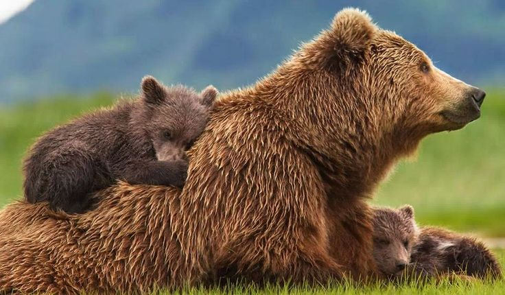 Motherbear with cubs